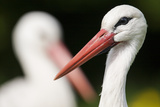 White Stork (Ciconia Ciconia) Adult Portrait  Captive  Vogelpark Marlow  Germany  May