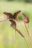 Harvest Mice (Micromys Minutus)  Captive  UK  June