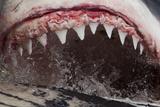 Great White Shark (Carcharodon Carcharias) Feeding Papier Photo par Chris & Monique Fallows