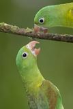 Orange-Chinned Parakeets (Brotogeris Jugularis) Interacting  Northern Costa Rica  Central America