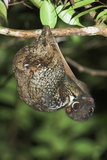 Malayan Colugo - Flying Lemur (Cynocephalus Variegatus) In Suspensory Resting Posture At Night