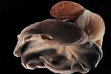 Dumbo Octopus (Grimpoteuthis Sp) Barent'S Sea At Depth Of 1680 M  Atlantic Ocean