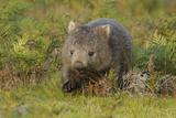 Common Wombat (Vombatus Ursinus) Tasmania  Australia  February