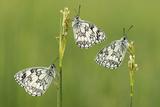 Three Marbled White Butterflies (Melanargia Galathea) Resting On Reeds  Devon  UK  July
