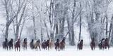 Rf- Quarter Horses Running In Snow At Ranch, Shell, Wyoming, USA, February Papier Photo par Carol Walker
