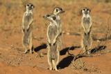 Meerkats (Suricata Suricatta) Standing Alert, Kgalagadi Transfrontier Park, Northern Cape Papier Photo par Ann & Steve Toon