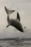 Great White Shark (Carcharodon Carcharias) Breaching On Seal Decoy  Seal Island  False Bay