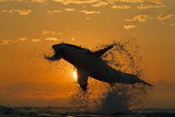 Great White Shark (Carchardon Carcharias) Breaching On Seal Decoy At Dawn  False Bay  South Africa