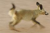 Bat-Eared Fox (Otocyon Megalotis) Running  Blurred Motion Photograph  Namib-Naukluft National Park