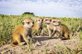 Meerkat (Suricata Suricatta) Babies, Makgadikgadi Pans, Botswana Papier Photo par Will Burrard-Lucas