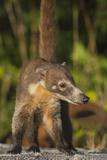 Cozumel Coati (Nasua Nelsoni) Cozumel Island  Mexico Critically Endangered Endemic Species