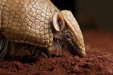 La Plata - Southern Three-Banded Armadillo (Tolypeutes Matacus) Foraging  Captive
