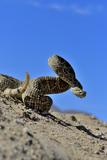 Mojave Rattlesnake (Crotalus Scutulatus) Mojave Desert  California  June