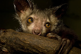 Aye-Aye (Daubentonia Madagascariensis) Extracting Beetle Grubs From Wood