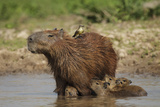 Capybara (Hydrochoerus Hydrochaeris) Female With Young