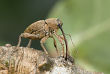 Acorn Weevil (Curculio Venosus) Drilling Into Oak Twig To Drink Sap Captive  UK  August