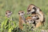 Meerkat (Suricata Suricatta) Adult With Babies  Makgadikgadi Pans  Botswana