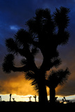 Silhouettte Of Joshua Tree (Yucca Brevifolia) At Sunset  Joshua Tree National Park  Mojave Desert