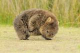 Common Wombat (Vombatus Ursinus) Adult Scratching  Tasmania