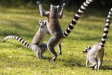 Ringtailed Lemurs Playing (Lemur Catta) Nahampoana Reserve  South Madagascar  Africa