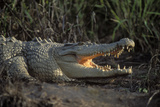 Saltwater Crocodile (Crocodylus Porosus) Northern Territory  Australia