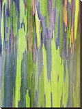 Rainbow Eucalyptus Trunk Near Hana  Maui  Hawaii  Usa