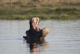 Hippopotamus  Khwai Concession  Okavango Delta  Botswana