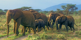 Group of African Bush Elephants on the Move in Samburu National Reserve  Kenya
