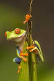 Central America, Costa Rica. Red-Eyed Tree Frog Close-Up Tableau sur toile par Jaynes Gallery