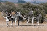Zebra  Mashatu Game Reserve  Botswana