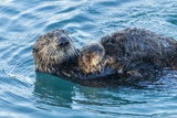 California  Morro Bay Sea Otter Parent and Pup