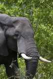 African Elephant  Khwai Concession Area  Okavango Delta  Botswana