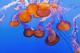 Sea Nettles  Monterey  California  Usa