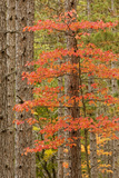 Maple Trees in Fall Colors  Hiawatha National Forest  Upper Peninsula of Michigan