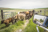 Washington State  Palouse  Whitman County Pioneer Stock Farm  Cows at Pasture Gate