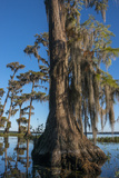 Florida  Pond Cyprus and Spanish Moss in Swamp