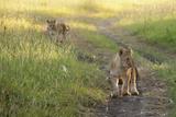 Lion Cubs  Masai Mara  Kenya