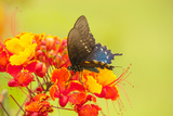 Texas  Hidalgo County Pipevine Swallowtail Butterfly on Flower