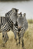 Pair of Burchell's Zebras Nuzzling Up to Each Other  Masai Mara  Kenya