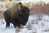 Bison Bull Late Winter