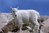 Mountain Goat Kid on Rocks  Mount Evans Recreation Area  Arapaho National Forest  Colorado  Usa