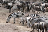 Common Zebras and Wildebeest Approaching the River Mara  Masai Mara  Kenya