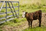 Washington State  Palouse  Whitman County Pioneer Stock Farm  Cows at Pasture Gate