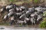 Wildebeest Crossing the River Mara  Masai Mara  Kenya