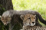 Cheetah and Cub  Masai Mara  Kenya