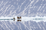 Norway  Svalbard  Pack Ice  Walrus on Ice Floes