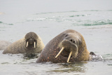 Norway  Svalbard  Walrus in Water
