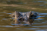 Brazil  Cuiaba River  Pantanal Wetlands  Head of a Yacare Caiman Eyes Exposed  on the Cuiaba River
