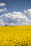 Denmark  Jutland  Odum  Rapeseed Field  Springtime