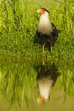 Texas  Hidalgo County Crested Caracara Reflecting in Water